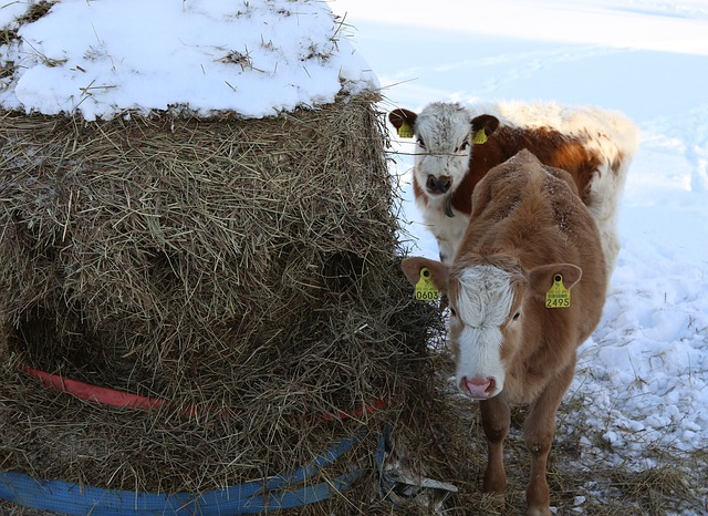 7 rules for keeping cows in winter - Smart4Agro